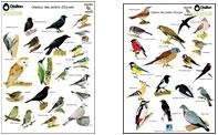 affiche : identifiez les oiseaux d'Europe